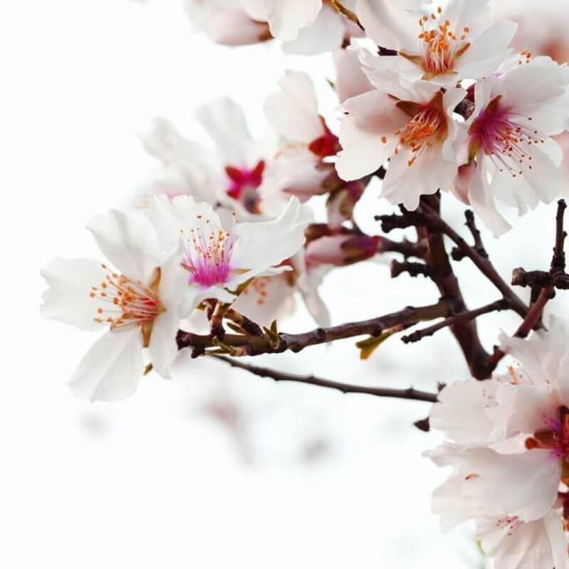 Sweet almond oil benefits in natural skincare