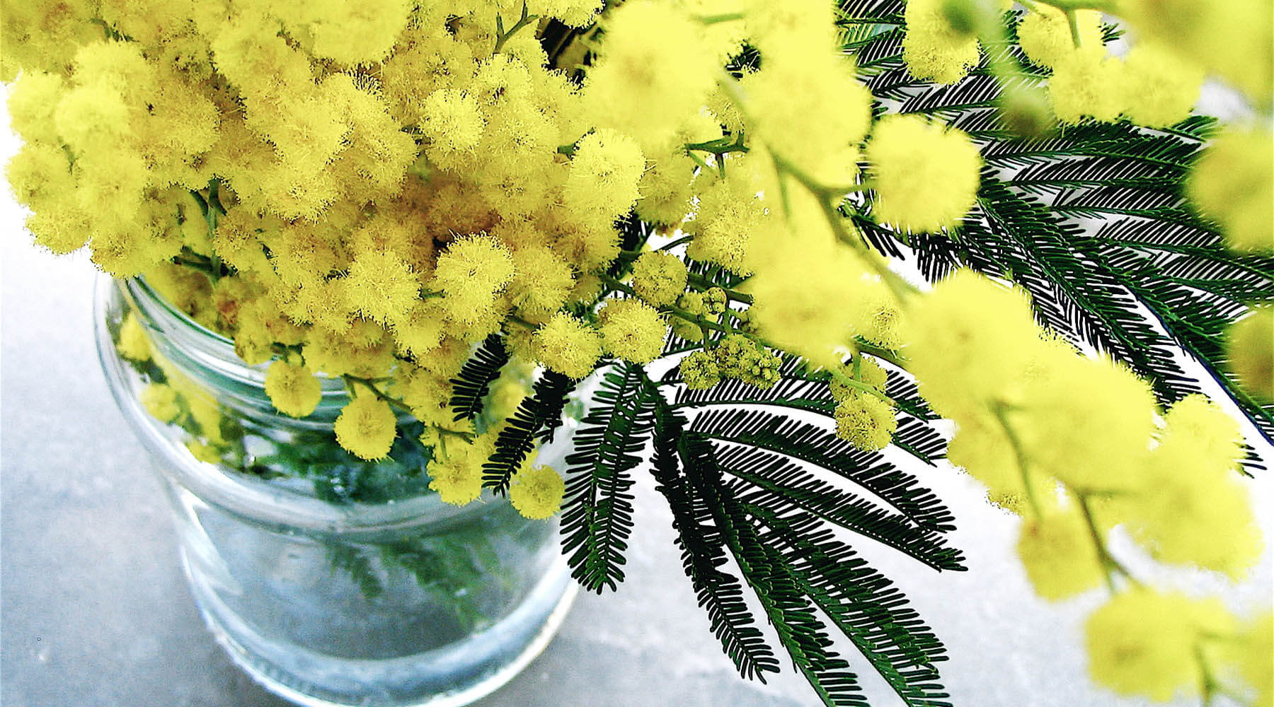 mimosa in skincare and perfume