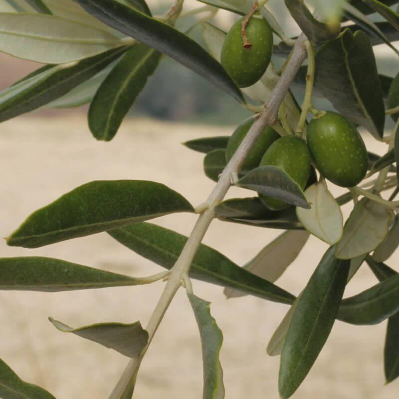 Olive oil in skincare